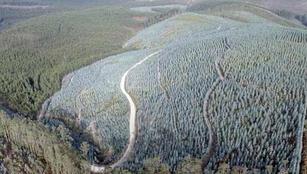 En portugal arrancan eucaliptos y en galicia hay m s que en australia - Que hay en portugal ...