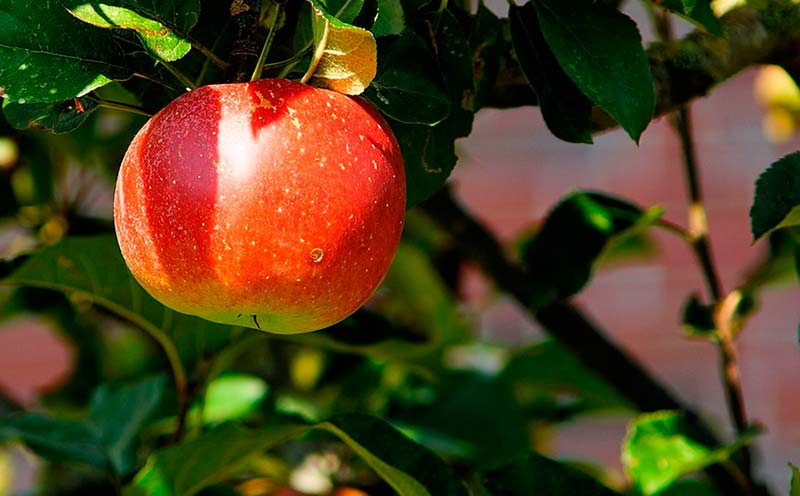orujo de manzana 1