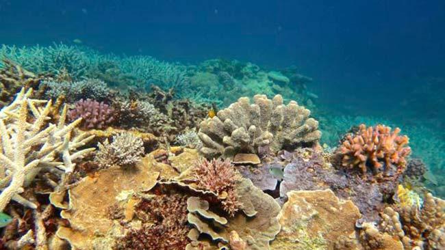 blanqueamiento de coral en Gran Barrera de Coral australiana