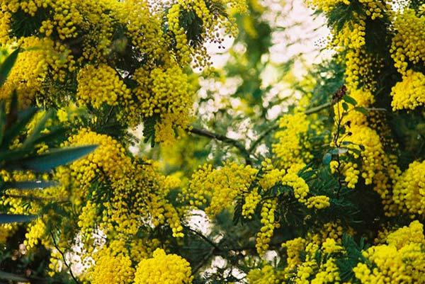 Acacia en áreas mediterráneas 1