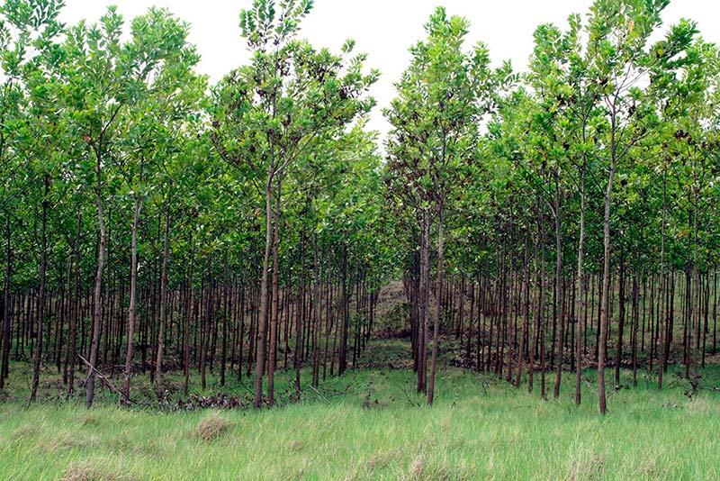 Acacia en áreas mediterráneas 13