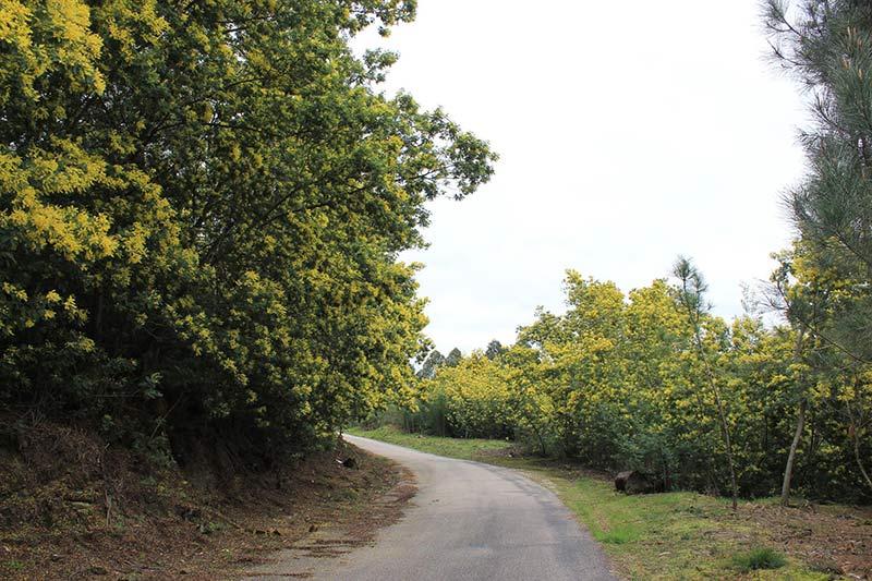 Acacia en áreas mediterráneas 2