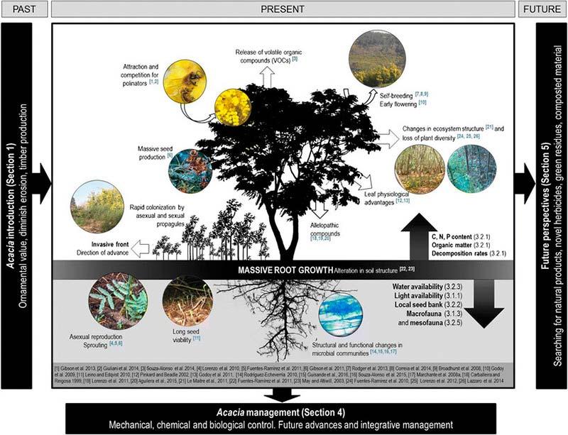 Acacia en áreas mediterráneas Figura 2