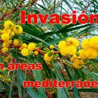 Acacia en áreas mediterráneas