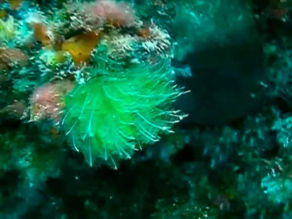 alga Bryopsis