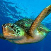 calentamiento global convierte en hembras al 99% de las tortugas