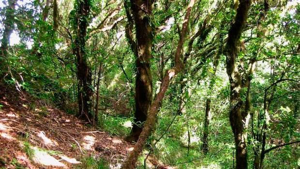 laurisilva Canarias