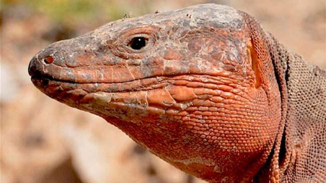 lagarto gigante Canarias