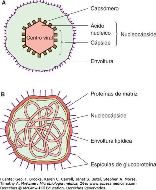 morfología adenovirus
