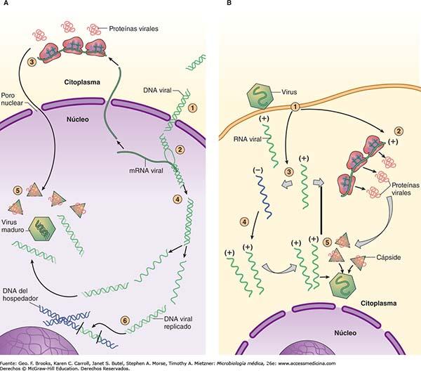 localización morfogénesis adenovirus