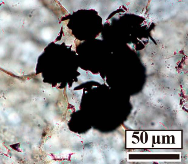 fósiles primeros microorganismos microscopio