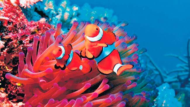 peces payaso y anémonas