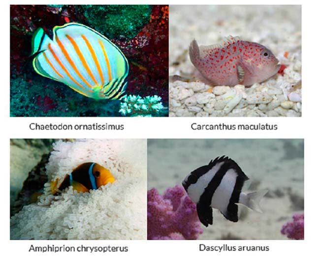 peces habitantes de anémonas