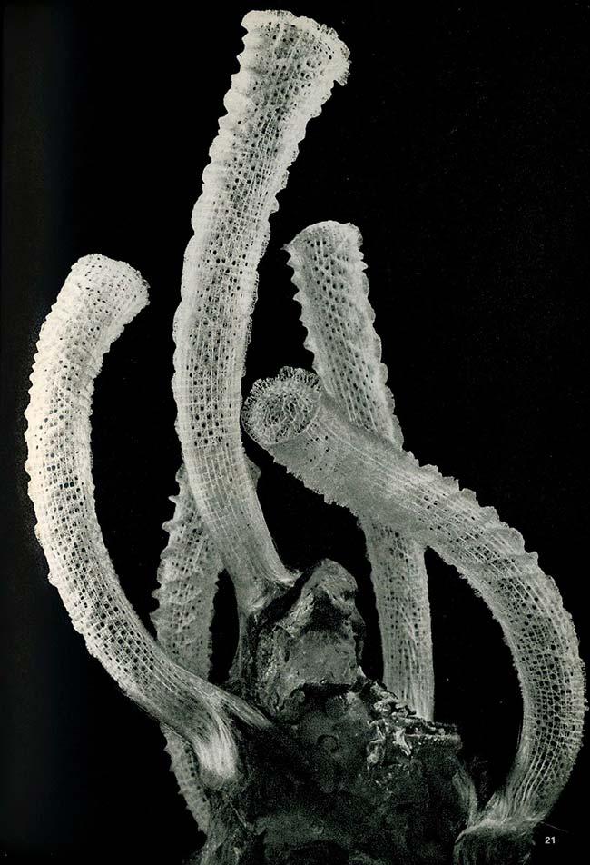 Euplectella aspergillum