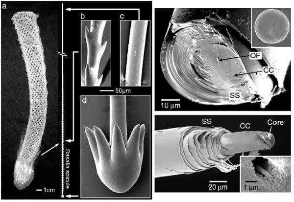 espículas Euplectella aspergillum