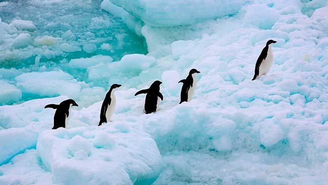 pingüinos Antártica