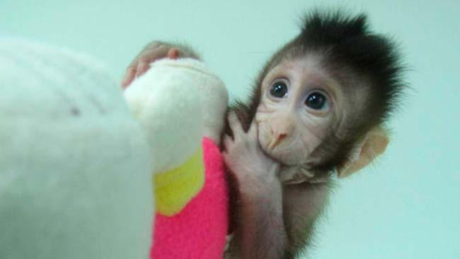 primate clonado