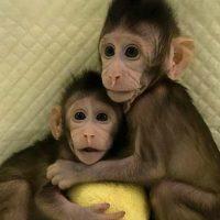 clonación de primates portada
