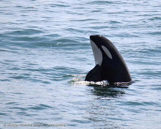 orca Mar de Salish