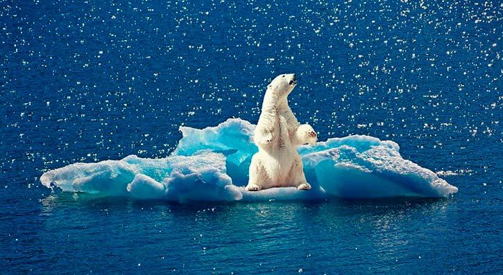 pérdida de hielo afecta al metabolismo del oso polar Portada