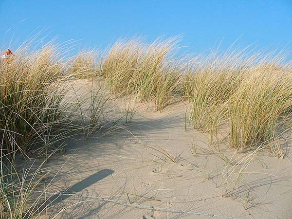 dunas con Ammophila arenaria