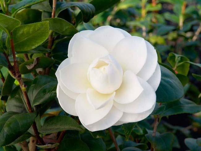 camelia flor blanca