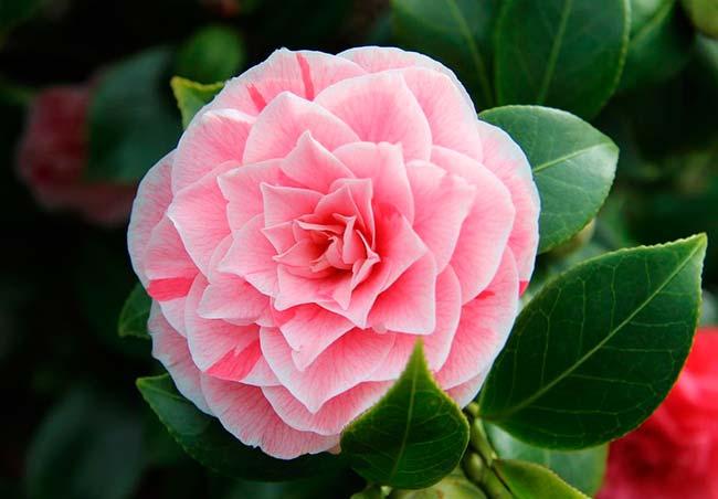 flor camelia rosa