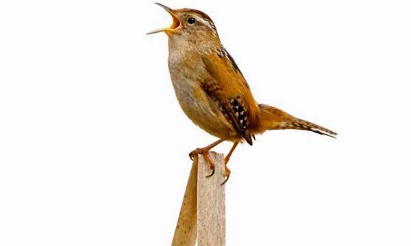 musica de aves