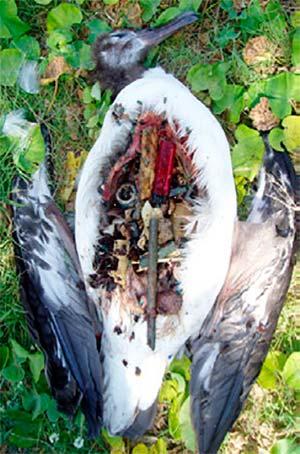 plasticos en estomago ave marina