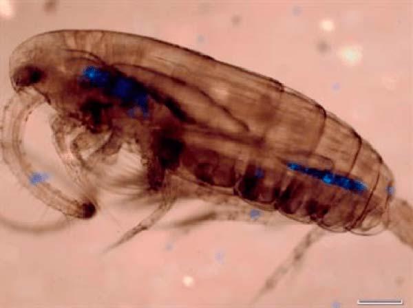microplasticos ingeridos invertebrado
