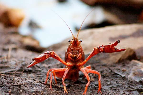 cangrejo rojo americano