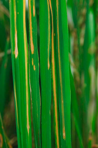 enfermedad raya de arroz