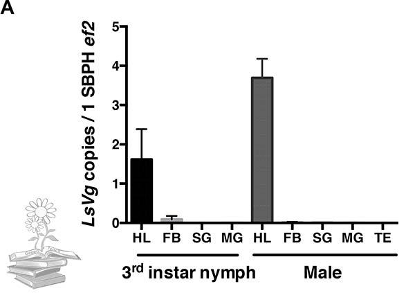 vitelogenina en ninfas y machos de insecto