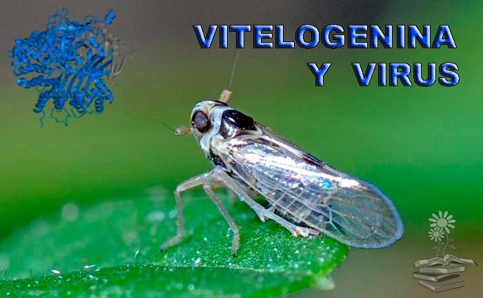La vitelogenina de insectos específica de tejido facilita la transmisión de virus en plantas