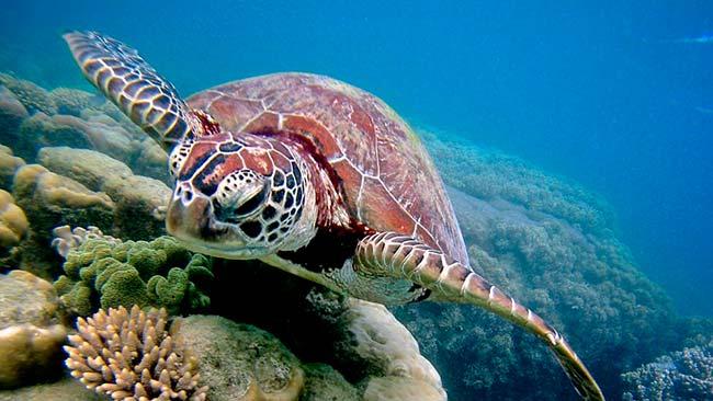 mas tortugas marinas hembras que machos