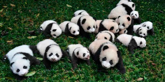 parque nacional de osos panda gigante portada