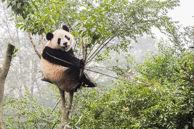 Parque nacional de osos panda en China