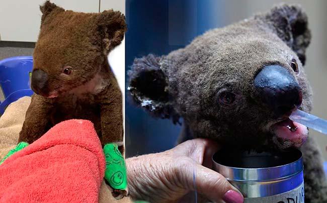 Australia Koalas en Hospital