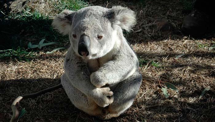 Koalas portada