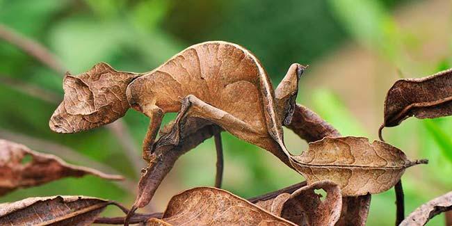camuflaje Gecko de cola de hoja