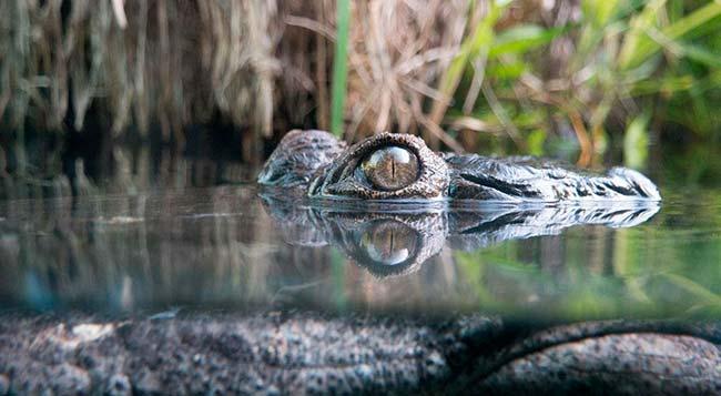 cocodrilo camuflado
