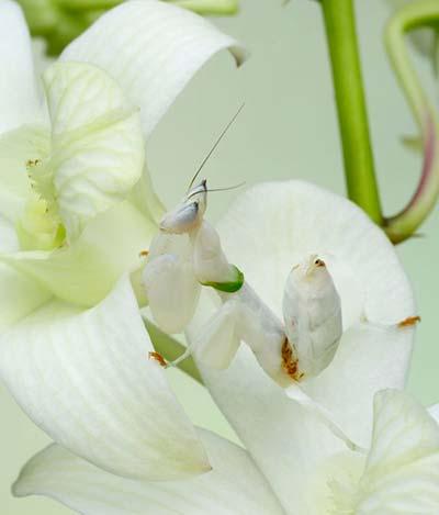 mimetismo mantis orquidea blanca