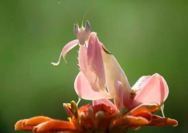 mimetismo mantis orquidea rosa