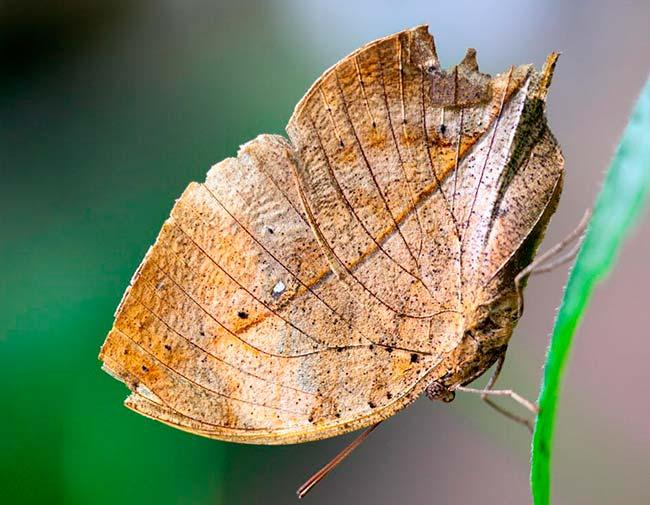 camuflaje mariposa hoja seca