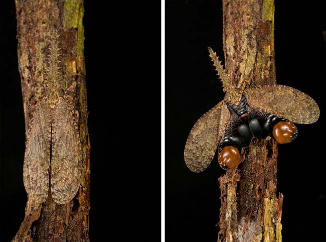 mariposa Fulgora camuflaje y ataque
