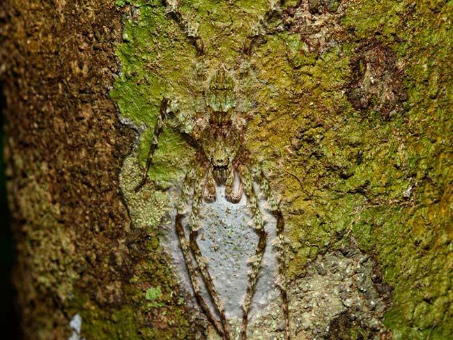 araña Lichen camuflada
