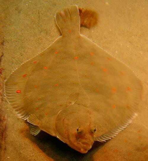 pez solla camuflaje