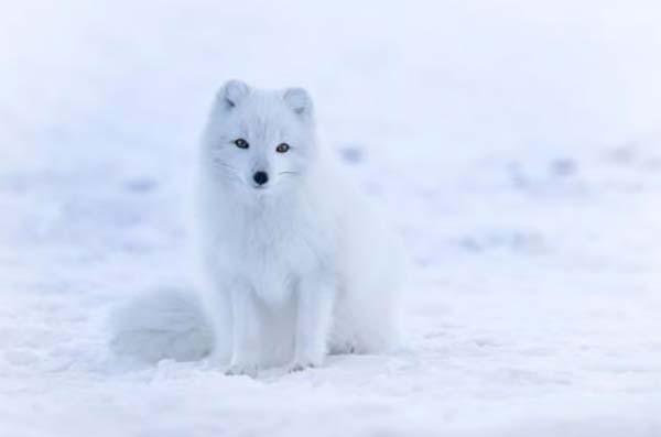 camuflaje zorro artico invierno