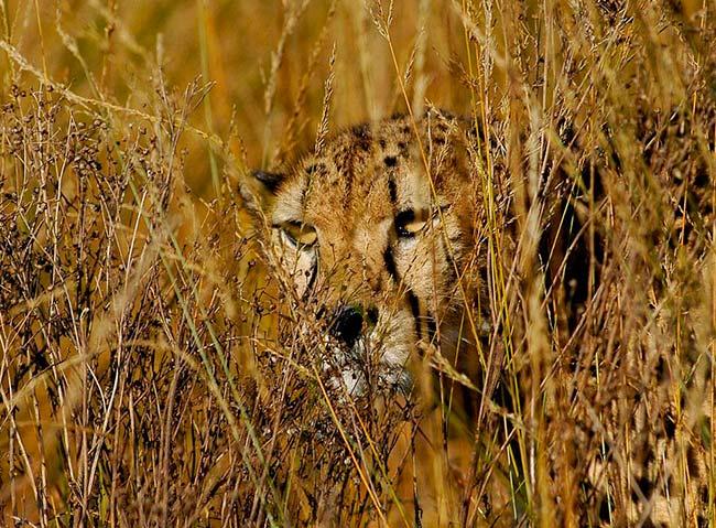 guepardo camuflado en habitat