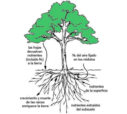 arboles y plantas fijadoras de nitrogeno